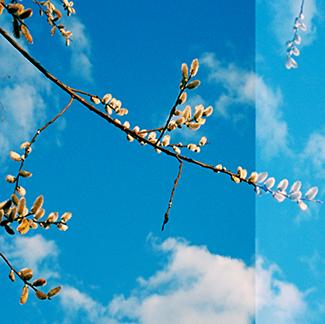 Spring Buds, Vermont. 2009 Crop 1